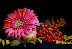 Обои яблока, рябины и цветка астры на столе
