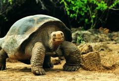 Фото старой сухопутной черепахи