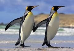 Королевские пингвины обои