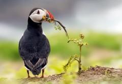 Тупик птица на природе скачать обои бесплатно