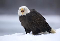 Американский белоголовый орёл