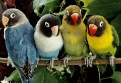 Попугаи неразлучники обои