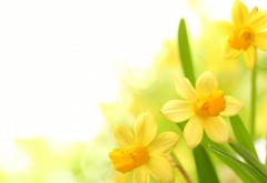 Plants narcissus yellow flower wallpaper desktop high resolution