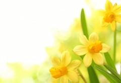 Plants narcissus yellow flower wallpaper desktop high resolution
