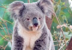 Фото коала