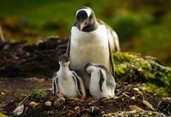 Пингвин с двумя птенцами в гнезде