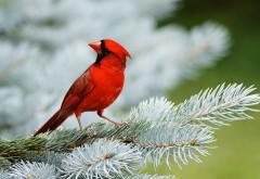 Красивая птичка - Красный кардинал