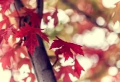 Красные кленовые листья обои осени