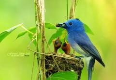 Синяя птичка сидит в гнездышке и кормит птенцов