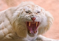 Рык тигра альбиноса фото