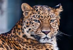 Дикая кошка, леопард в лесу