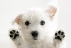 Милая белая собачка на рабочий стол картинки