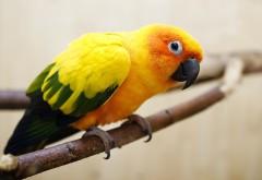 Желтый попугай фото