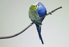 Два маленьких попугая поцелуй на ветке картинки скача�…