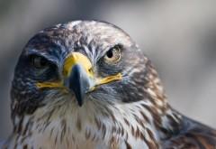 Суровый орёл заставки