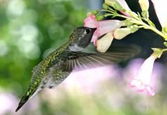 Голодная колибри картинки птички на рабочий стол