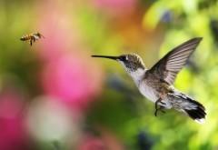 Колибри и пчёлка обои