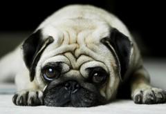Угрюмая собачка с большими глазами картинки