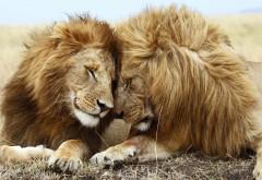 Львы картинки для рабочего стола