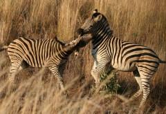 Две мадагаскарские зебры обои