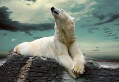 Белый полярный медведь картинки