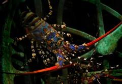 Обои лобстера в подводном мире
