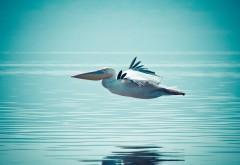 Красивый пеликан над водой в полете обои hd