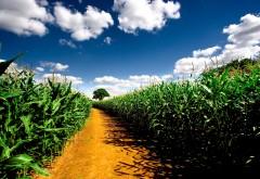 Моле молодой зеленой кукурузи обои hd