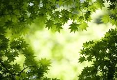 Зеленые листья клена обои hd