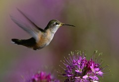 Макро снимок летящей колибри