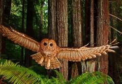 Животные птицы северная пятнистая сова обои hd