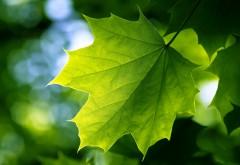 Зеленый лист клена на дереве обои hd