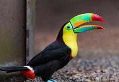 Птица с необычным клювом - тукан