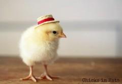 Цыпленок в шляпке смешные обои hd