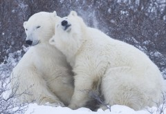 Пара красивых белых медведей