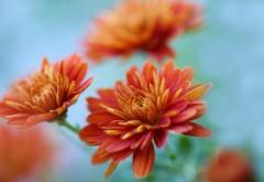 Хризантемы цветы оранжевые обои hd