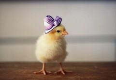Прикольный цыпленок в шляпке обои hd