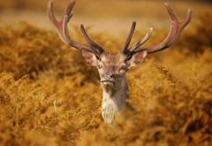 Шикарный олень с большими рогами обои hd