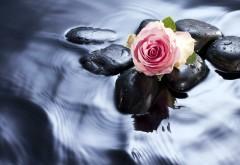 Роза на камушке, вода фото