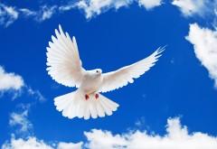 Белый голубь в полете обои