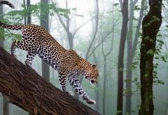 Леопард бредёт по бревну обои