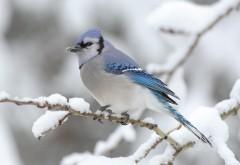 Птица, белый снегирь