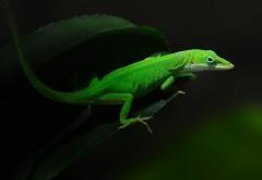 Небольшая яркая зеленая ящерица