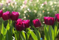 Бордовые тюльпаны заставки на рабочий стол hd
