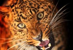 Хищник леопард заставки на рабочий стол hd