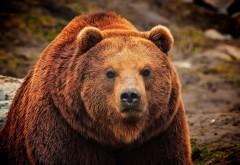 Бурый медведь заставки на рабочий стол hd