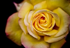 Желтая роза заставки на рабочий стол hd
