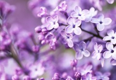 Syringa lilac flower wallpapers high resolution hd