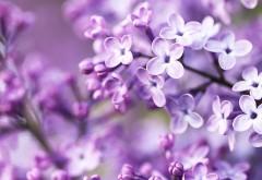 Syringa lilac flower wallpapers high resolution hd