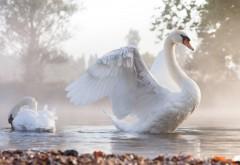 Фото белые лебеди на пруду на рабочий стол